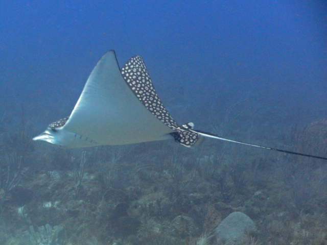 Eagle Ray on Molasses Reef