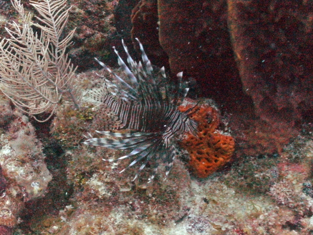Lionfish near Snapper Ridge