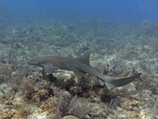 Nurse Shark on Molasses Reef