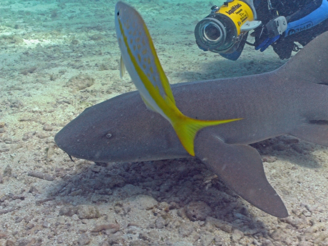 Nurse Shark at the city of Washington Wreck