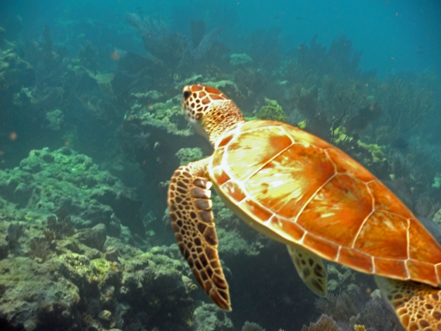 Small Turtle on Molasses Reef