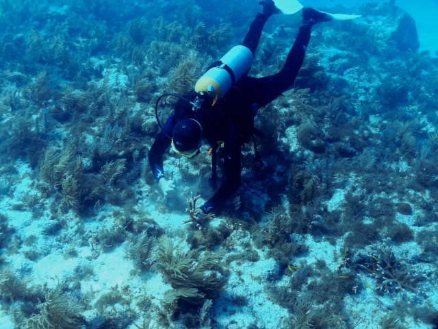 Planting a staghorn coral clipping at the Wellwood Restoration Site