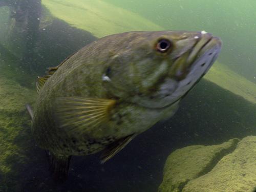 Small mouth Bass close-up