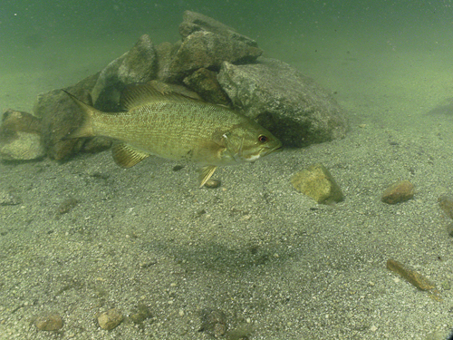 Small mouth Bass near a rockpile