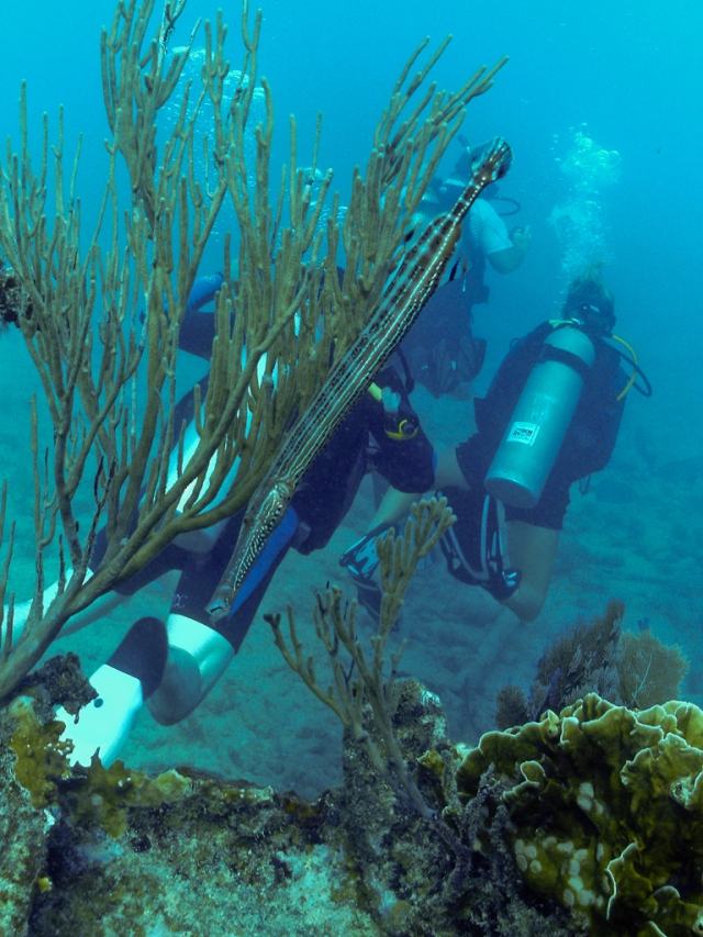 Trumpetfish on the wreck of the Benwood