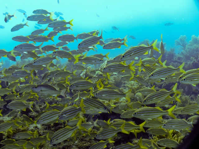 School of Smallmouth Grunts at Snapper Ledge off of Key Largo, FL