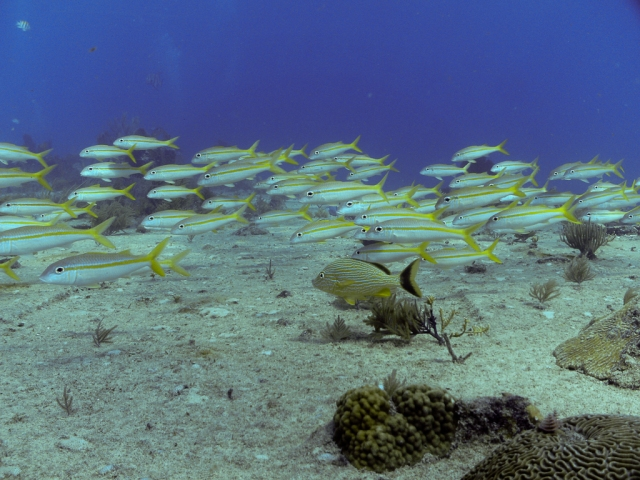 Yellow Tail Snapper school on the Benwood