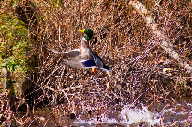 Mallard duck taking off