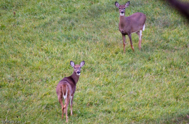 Whitetail Deer Oct 18 2012-1
