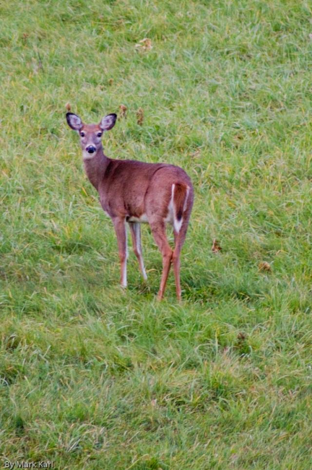 Whitetail Deer Oct 18 2012-2