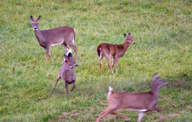 Whitetail Deer Oct 18 2012-3