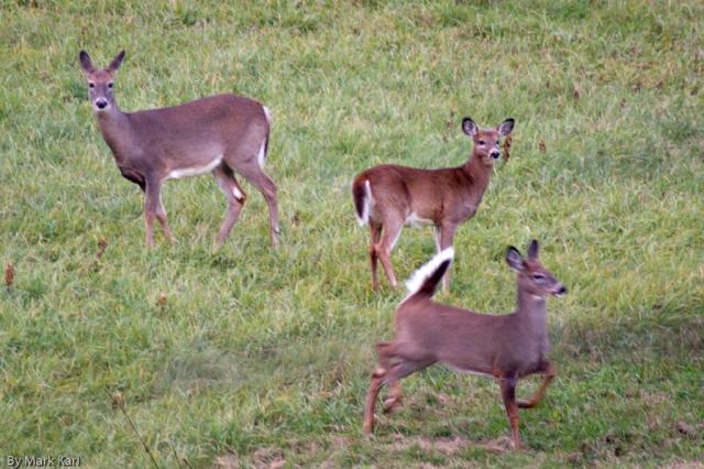 Whitetail Deer Oct 18 2012-4