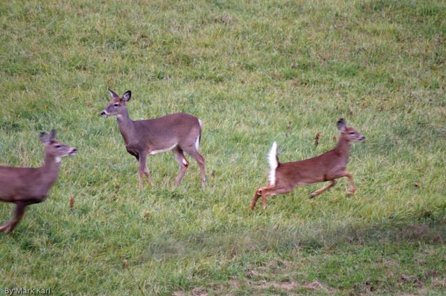 Whitetail Deer Oct 18 2012-5