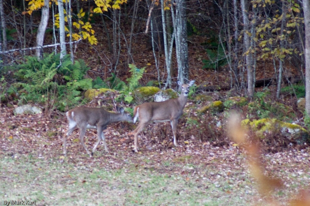 Whitetail Deer Oct 18 2012-7