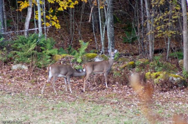 Whitetail Deer Oct 18 2012-8