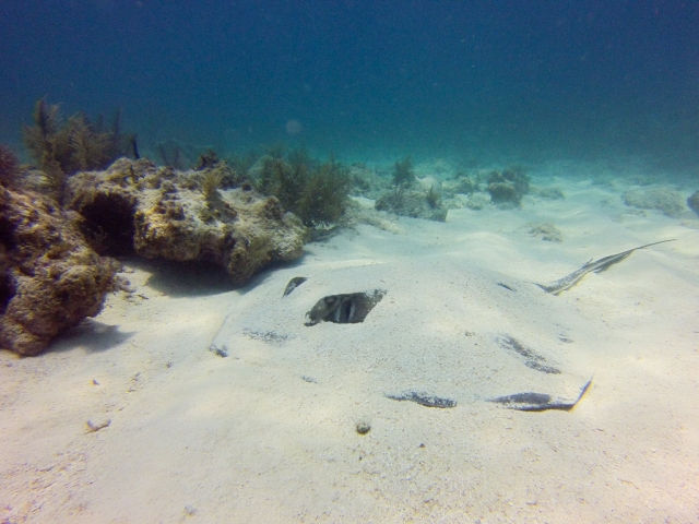 Southern Stingray at Conch Reeff