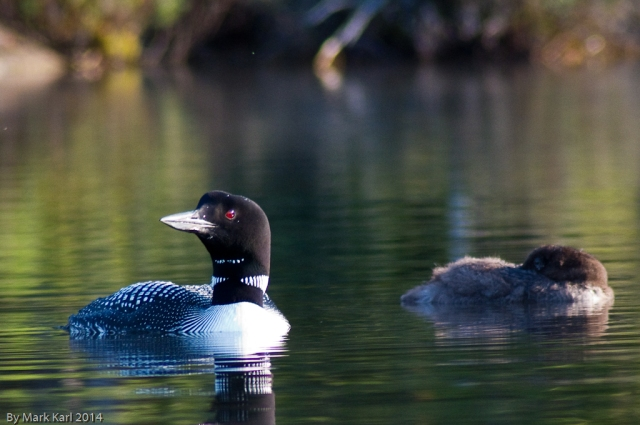 Loon and sleeping chick.