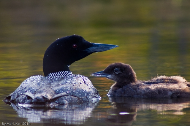 Loon on and chick on Grafton Pond.
