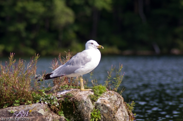 A Seagull on Grafton Pond.