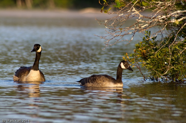 Canada Geese at Grafton Pond.