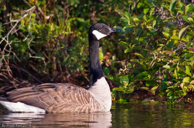Canada Goose on Grafton Pond.