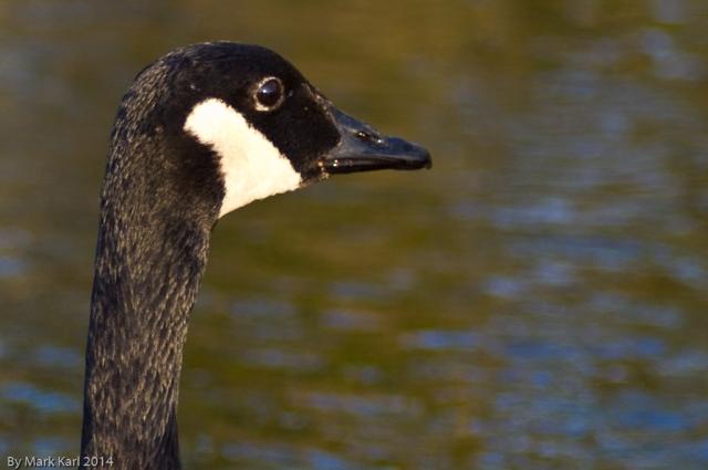 Canada Goose on Grafton Pond.