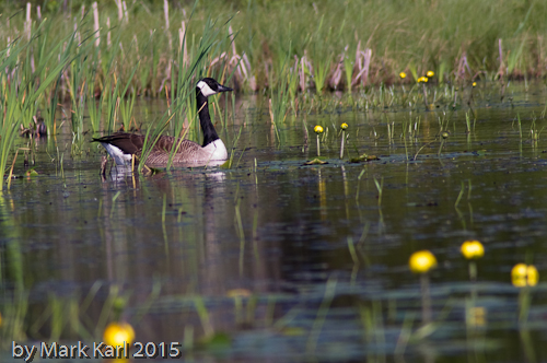 McDaniels Marsh May 30 2015-13