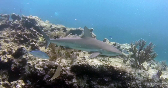Reef Shark on Molasses Reef July 11 2018