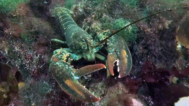 Lobster 2 at Fort Stark