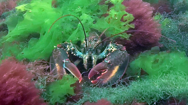Lobster in Sea Lettuce at Fort Stark