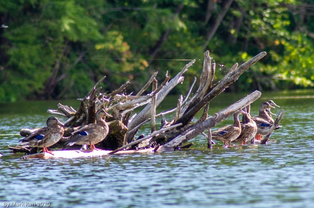 Mallard Ducks on the Connecticut River